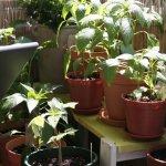 Friedliches Miteinenader in der Chili-Tomaten-WG