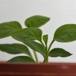 Chilipflanze guckt nach zwei Wochen über den Topfrand - 1