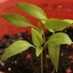 Chilipflanze rund zwei Wochen nach dem Umtopfen - 1