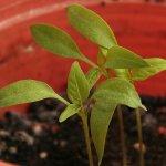 Chilipflanze rund zwei Wochen nach dem Umtopfen - 2