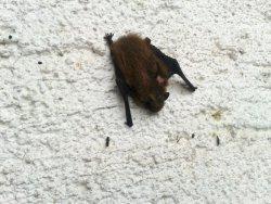 Die kleine Fledermaus hat es sich tagsüber unter dem Fensterladen gemütlich gemacht