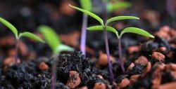 Fast schon massenhaft spießen die Malaya-Gewürz Chilisamen