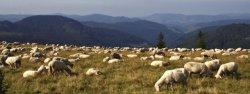 Impressionen vom Westweg: Eine Schaafherde genießt 2008 den Ausblick auf dem Feldberg