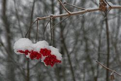Rote Beeren unter einer Schneedecke